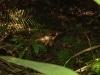 Dschungelschein