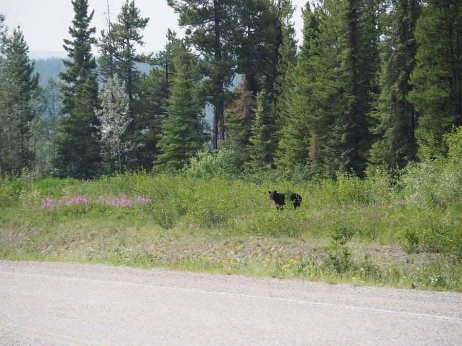 Schwarzbären gibt es hier jede Menge