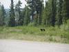 Schwarzbären sind stehts neugierig