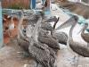 aufgeregte Pelikane am Fischermarkt