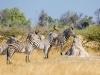 Zebras in ihrem natürlichen Lebensraum.