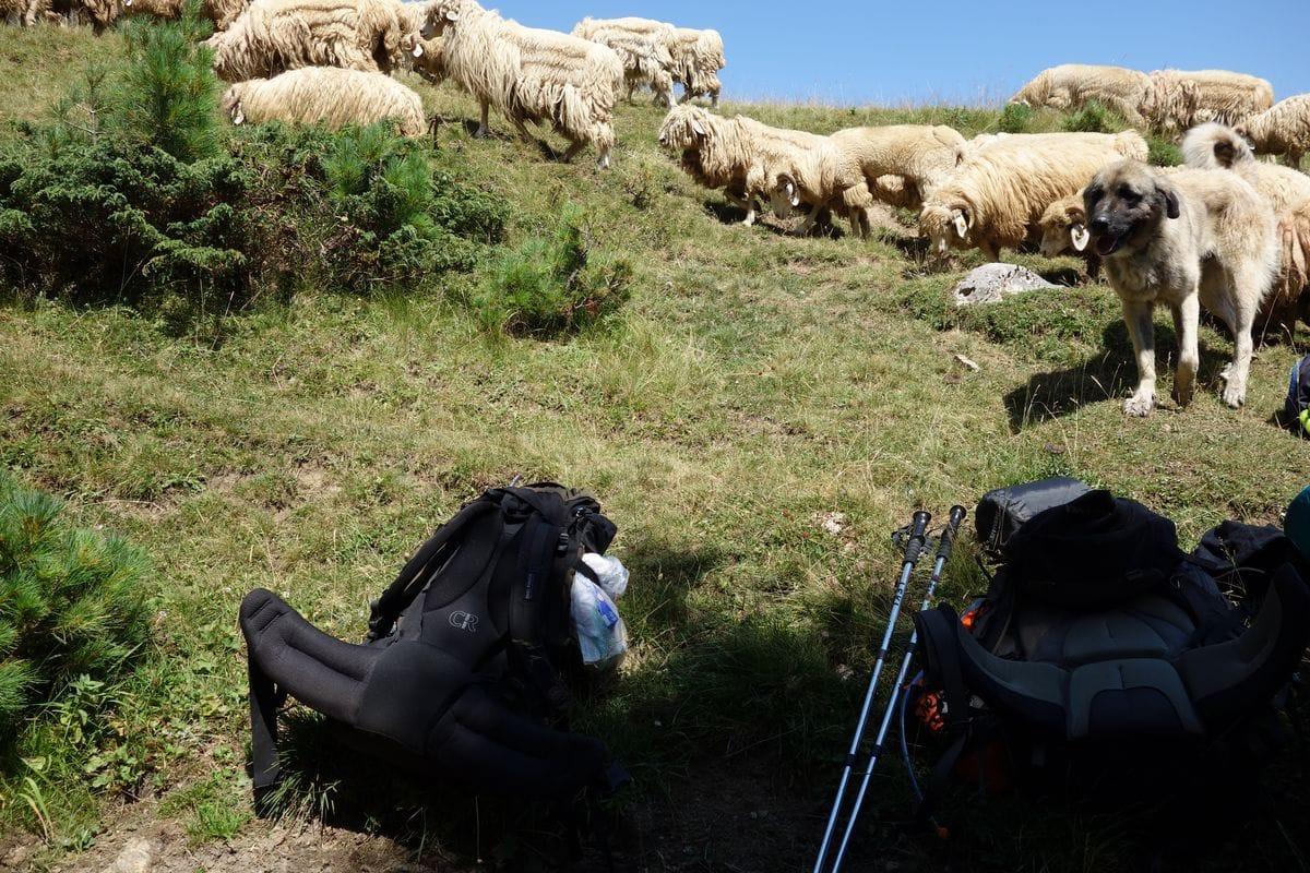 Schäferhunde und zottelige Schafe in Montenegro