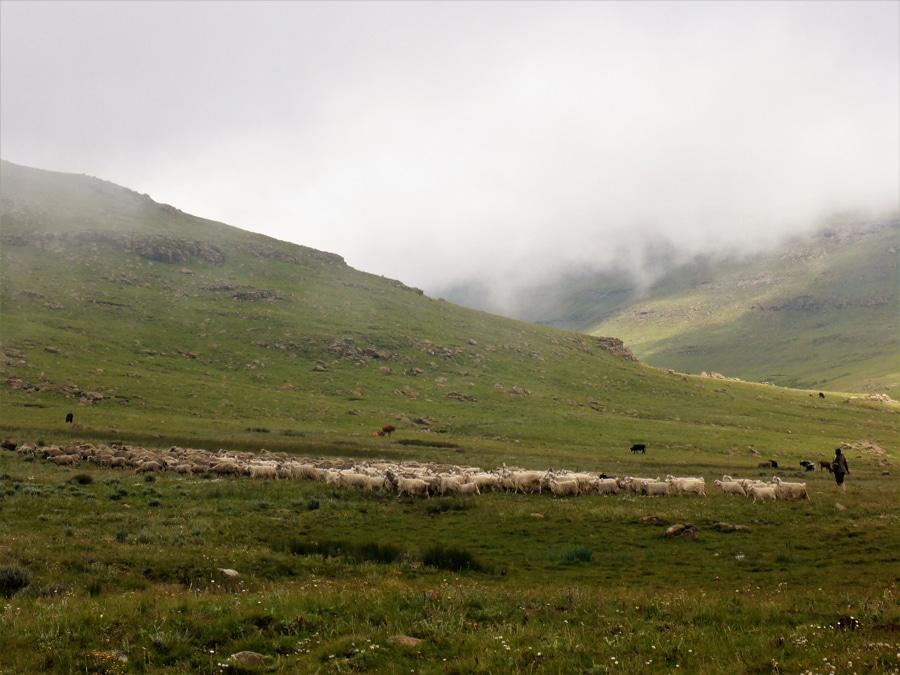 Schafe und Hirten