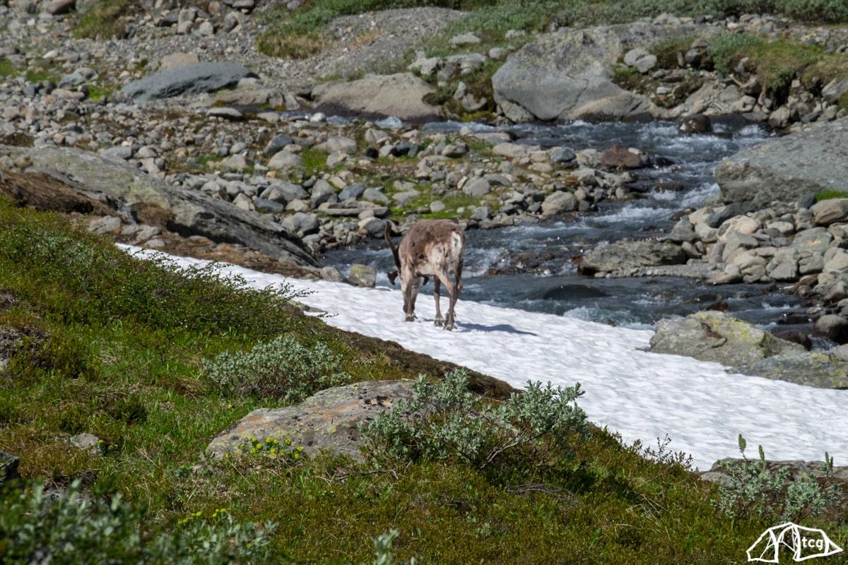 Lappland: Dieser Kollege begleitete uns ein Stück.